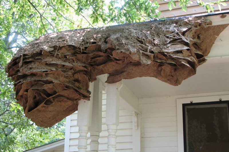 wasp-nests-on-the-wall